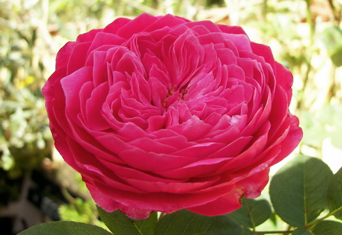 2830406_accademia03_jpg_rozi_Akademiya_Barni_TeehybridRose_Rose_variety_accademia_Barni03 (500x344, 95Kb)