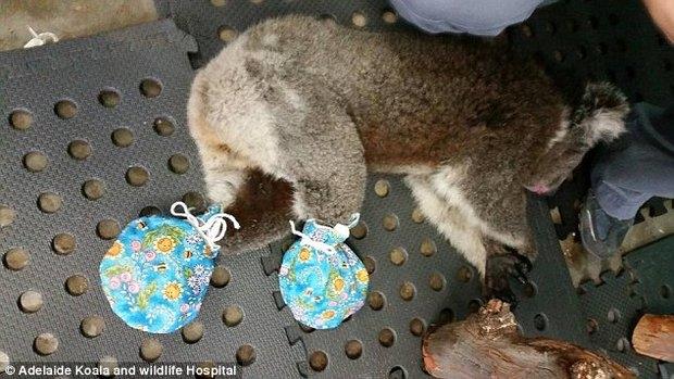 koala_australia_2 (620x349, 160Kb)