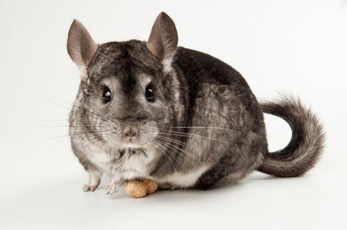 chinchilla_01 (700x465, 33Kb)