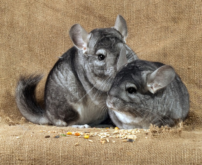 chinchilla_06 (700x572, 205Kb)