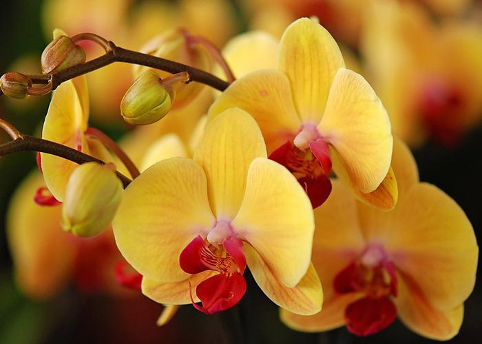 Orchids_08 (700x500, 88Kb)
