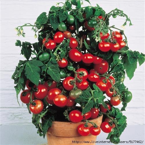 5177462_97539270_3769678_pomidori_1 (500x500, 154Kb)
