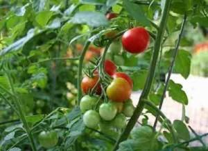 3925311_pomidori_v_teplice (300x219, 25Kb)