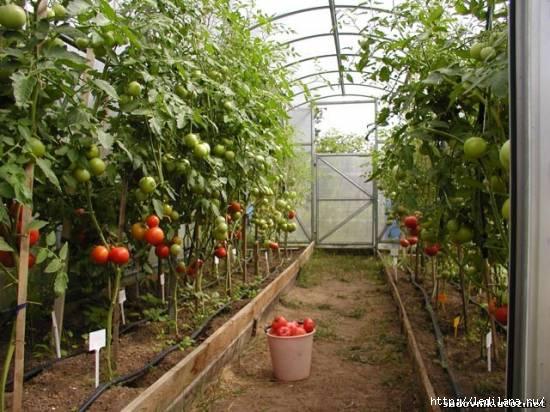 3925311_pomidorki_v_teplice (550x412, 152Kb)