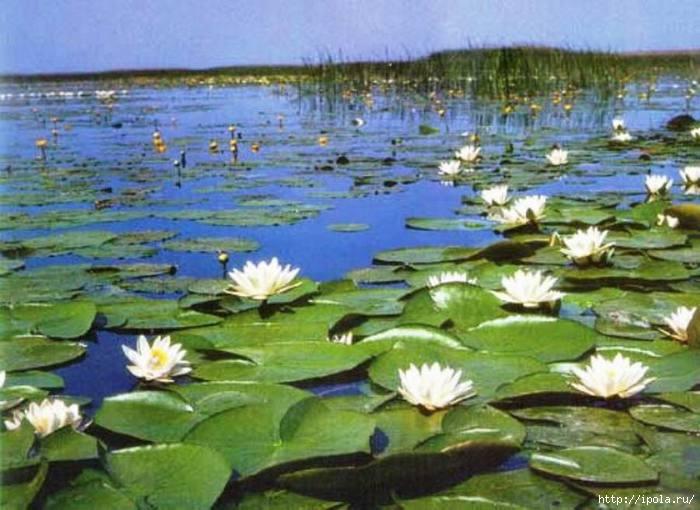 Водяная лилия (кувшинка белая) - лечебные свойства и применение в народной медицине