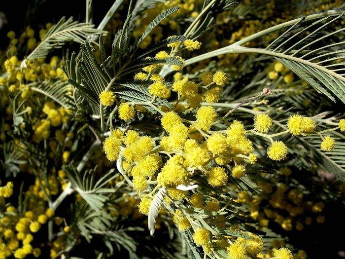 mimoza (700x525, 128Kb)