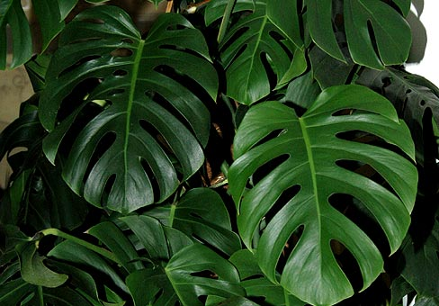 monstera1 (488x340, 43Kb)