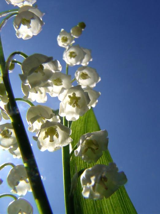 Цветы-ландыша-1284461652_37 (522x700, 103Kb)
