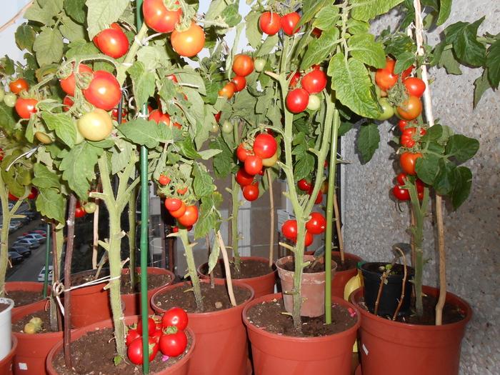 Сорт томатов для выращивания на подоконнике 637