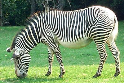 zebra8 (400x269, 48Kb)