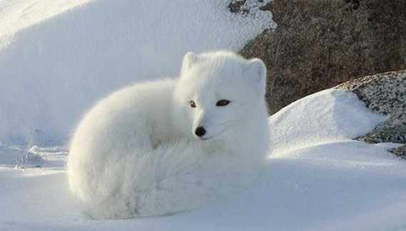 1260216386_1259924547_snow_animal-21 (570x325, 36Kb)