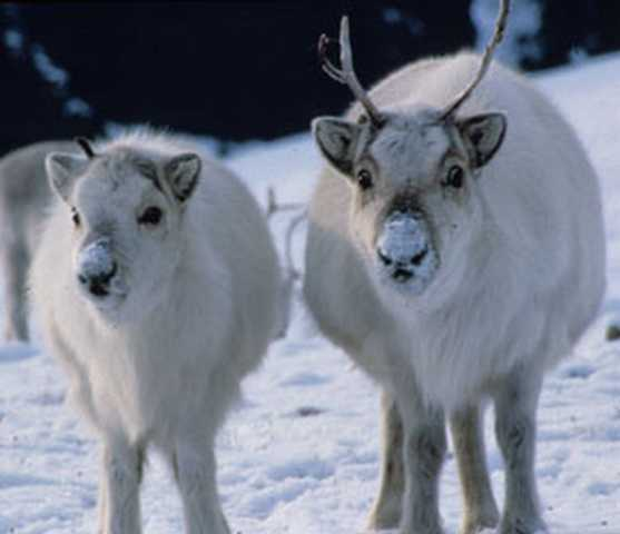 1260216410_1259924572_snow_animal-5 (557x480, 44Kb)