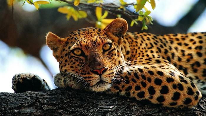 animals_hdwallpaper_resting-leopard_75964 (700x393, 103Kb)