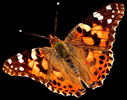 бабочка15 (500x396, 245Kb)