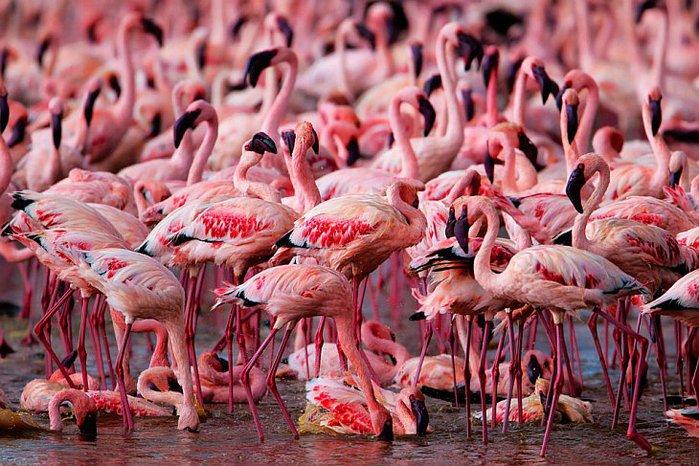 Миллион розовых фламинго2 (699x466, 421Kb)