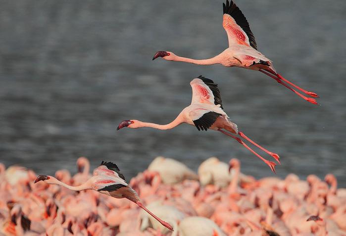 Миллион розовых фламинго3 (699x476, 209Kb)
