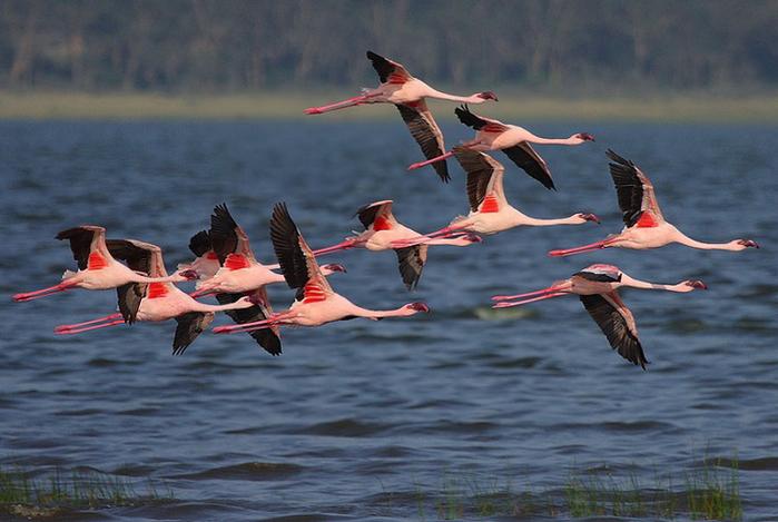 Миллион розовых фламинго7 (700x469, 335Kb)