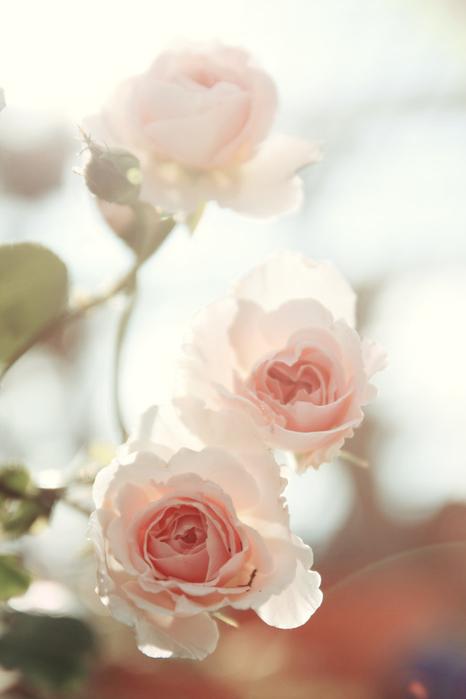 petals_by_puddingpolaroid-d5asb1w (466x700, 195Kb)