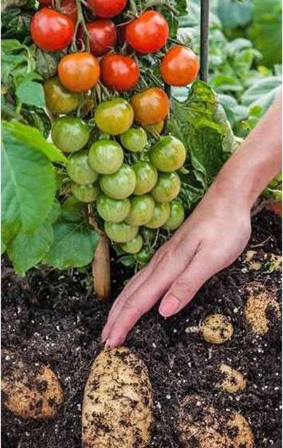 помидор картофельный (401x633, 121Kb)