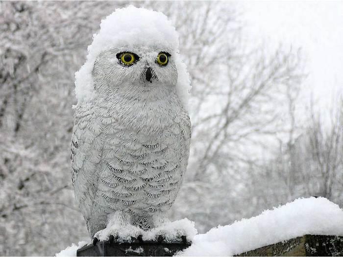 pticy_zimoy_foto_02 (700x525, 50Kb)