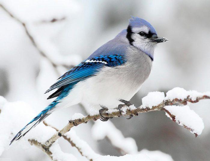 pticy_zimoy_foto_04 (700x537, 46Kb)