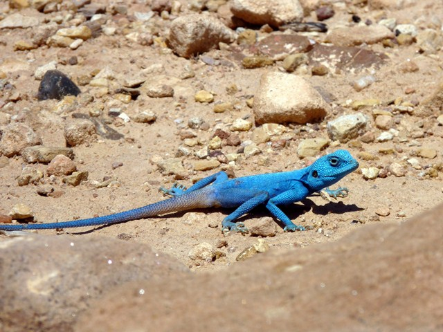 blue-lizard (640x480, 326Kb)