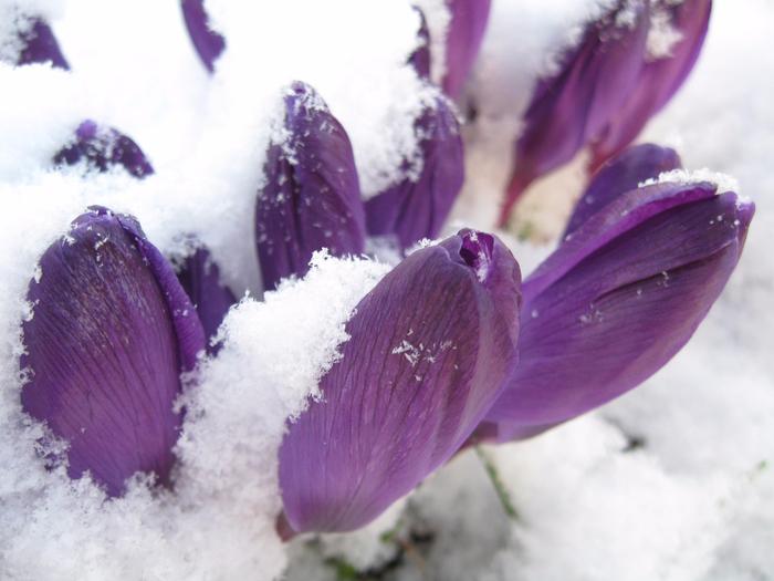 cvety_podsnezhnik_vesna_sirenevyy_3072x2304 (700x525, 362Kb)