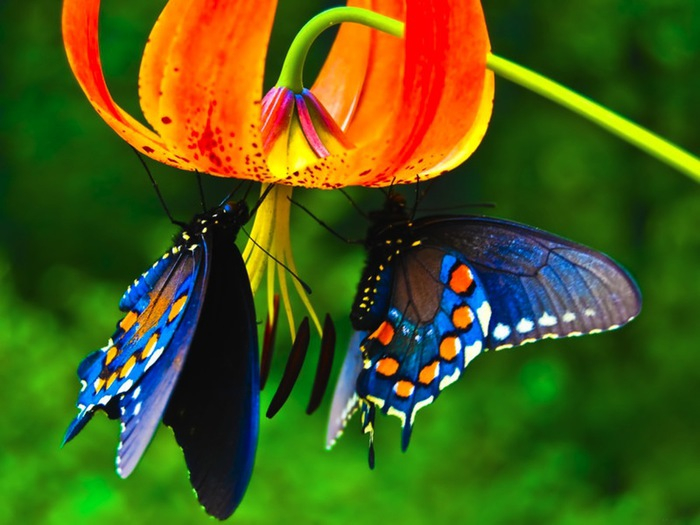 99522030_Beautiful_cool_butterfly_Wallpaper (700x525, 339Kb)