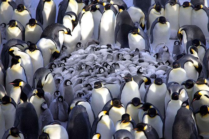 императорские пингвины фото 2 (670x447, 297Kb)