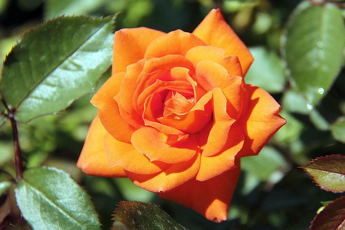 роза (700x466, 153Kb)