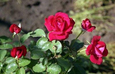 роза (400x258, 25Kb)