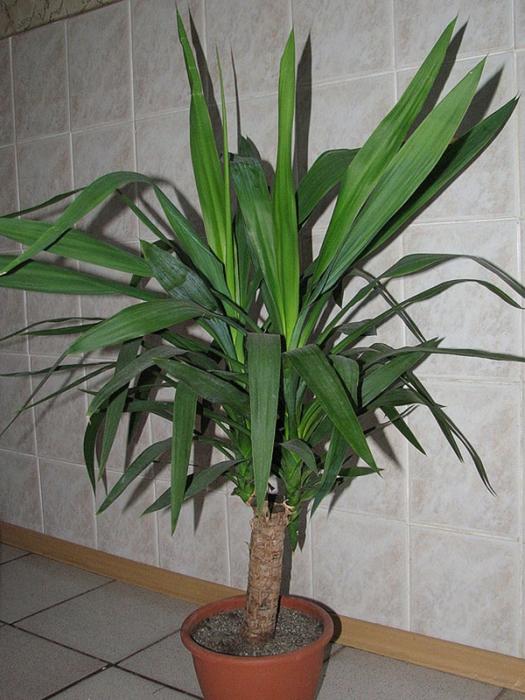 Пальма в домашних условиях разновидность