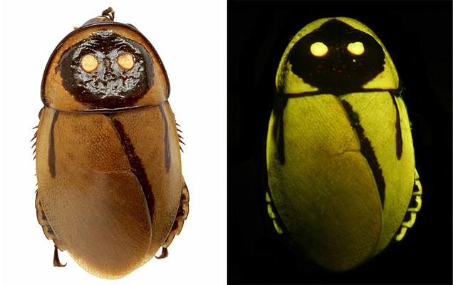 светящиеся тараканы тропических лесов 2 (636x400, 183Kb)