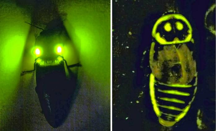 светящиеся тараканы тропических лесов 6 (700x424, 292Kb)