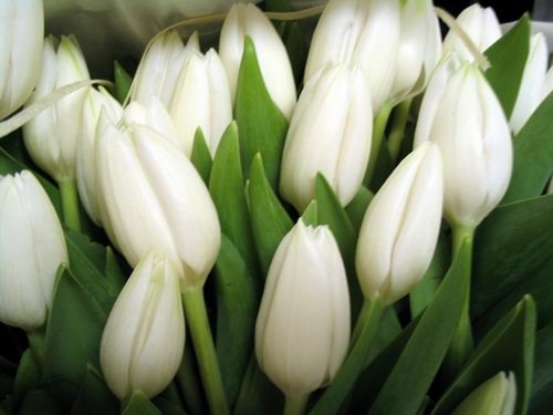 Tulips_white (500x375, 32Kb)