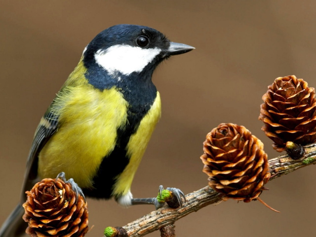 Animals_Birds_Tit_on_a_branch_030776_29 (640x480, 100Kb)