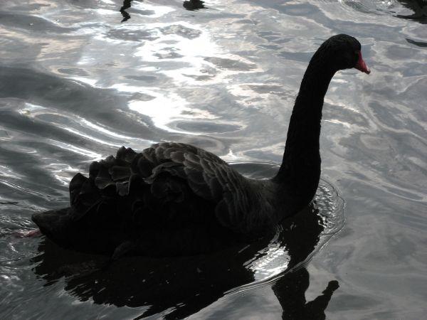 черный лебедь (600x450, 149Kb)