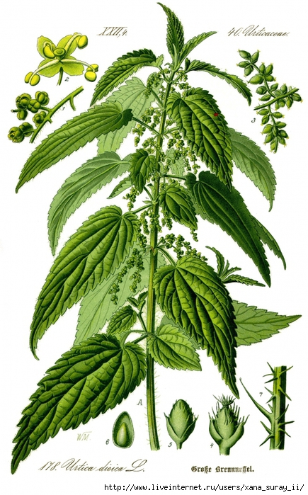 3433000_Illustration_Urtica_dioica0_clean (435x700, 303Kb)