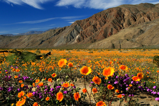 San-Diego-County--Borrego-Springs-Desert-Flower-Fields_33_656x438_201307162225 (656x438, 482Kb)