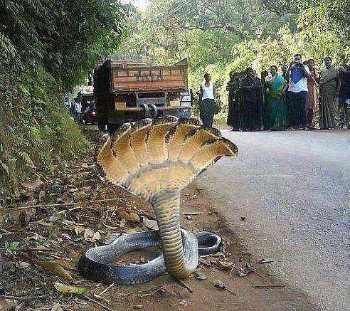 Эта змея была найдена в ГОРАХ Гондураса (492x437, 95Kb)