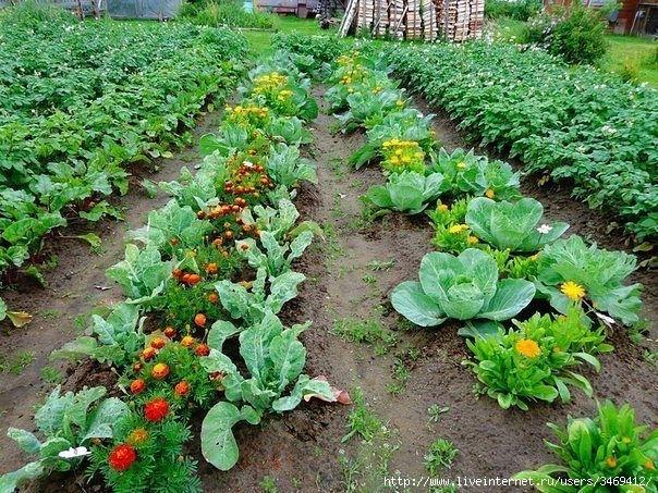 овощные культуры (604x453, 332Kb)