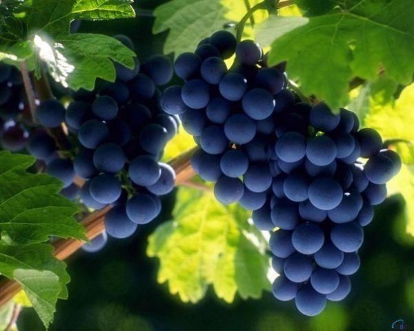 Как вырастить виноград (600x480, 44Kb)