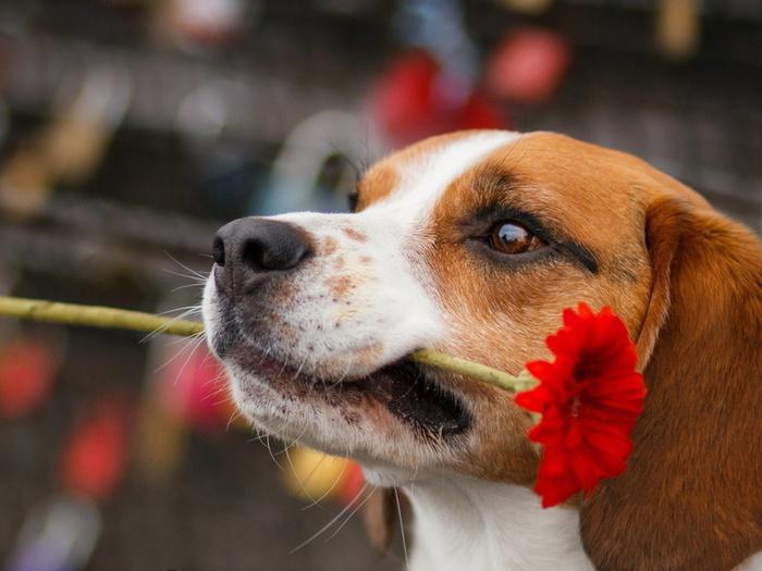Собака с цветком в зубах фото