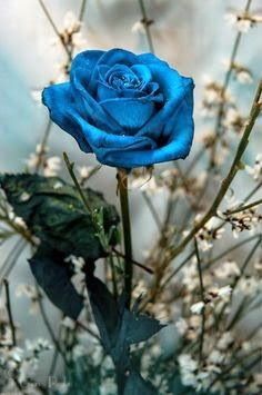 blue rose (236x355, 85Kb)