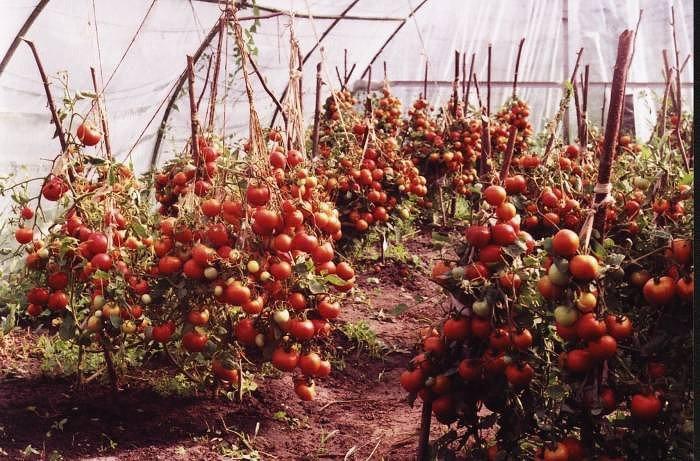 1426500418_neveroyatno-vysokiy-urozhay-pomidorov (700x461, 107Kb)