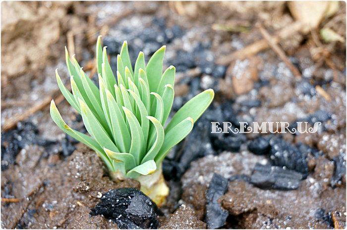 эремурус (700x465, 106Kb)