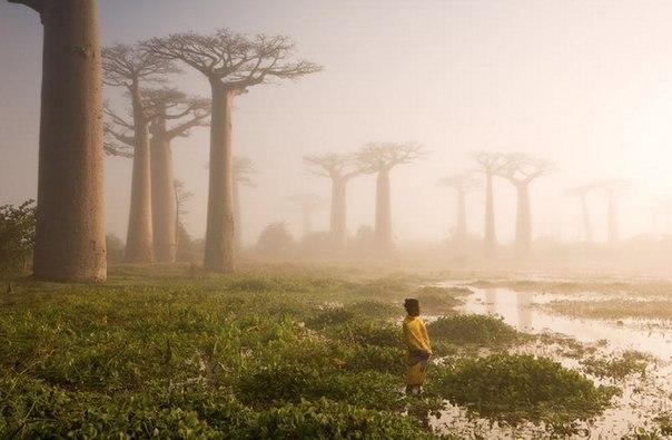 Баобабы острова Мадагаскар (604x395, 46Kb)