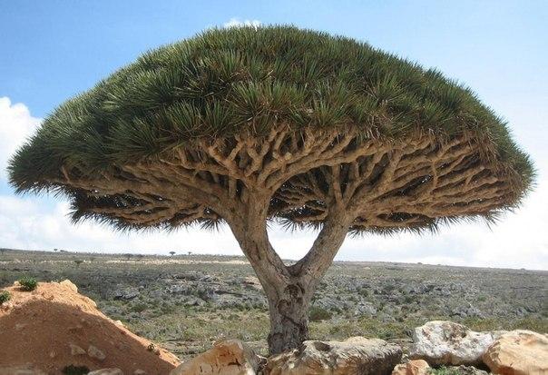 Драконовое дерево, остров Сокотра (604x413, 72Kb)