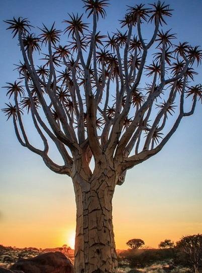 Колчанное дерево, Намибия (402x543, 101Kb)