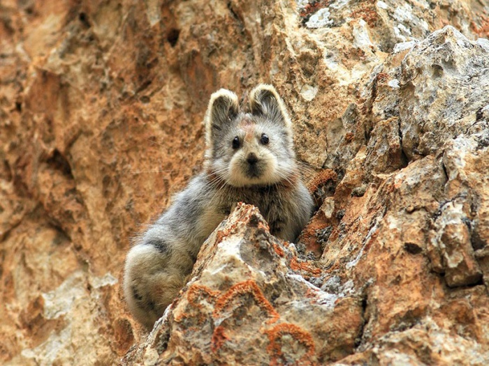 14552810-R3L8T8D-1000-rare-endangered-animal-teddy-bear-magic-rabbit-ili-pika-china-1 (1000x750, 192Kb)